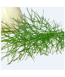 Fennel Flavor Concentrate