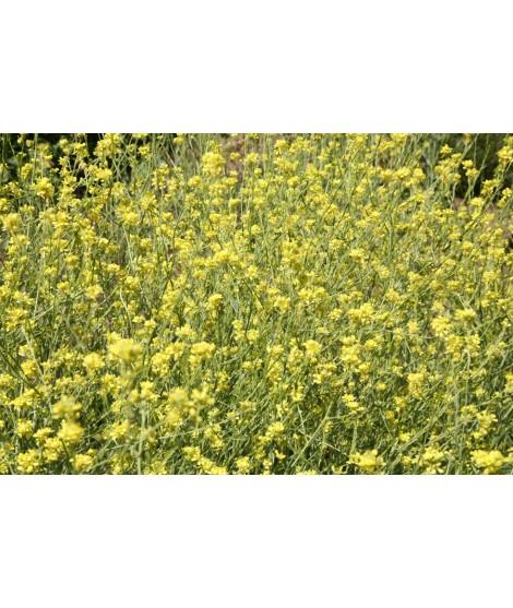 Mustard Seed Flavor Powder (Sugar Free, Calorie Free)