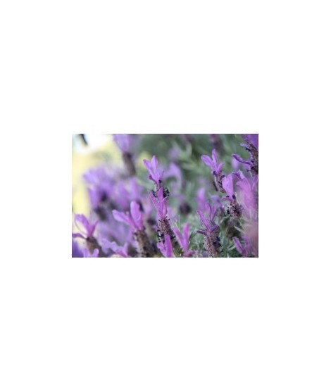Lavender Flavor Oil