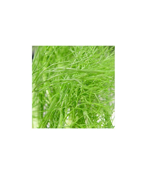 Fennel Flavor Extract