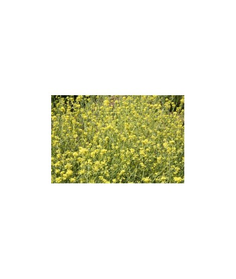 Mustard Seed Flavor Extract
