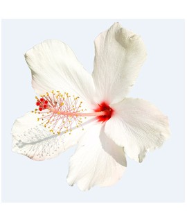 Organic Hibiscus Fragrance Oil (Oil Soluble)
