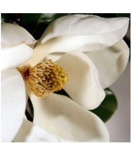 Organic Magnolia Fragrance Oil (Oil Soluble)