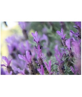 Organic Lavender Flavor Oil