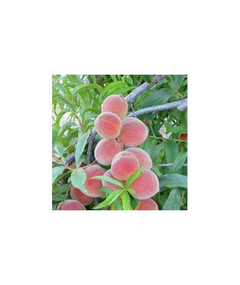 Organic Peach Fruit Glaze