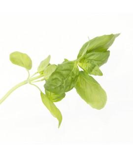 Organic Basil Flavor Extract