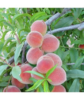 Organic Peach Melba Flavor Concentrate