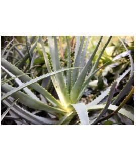 Aloe Vera Whole Leaf Drum Dried Powder