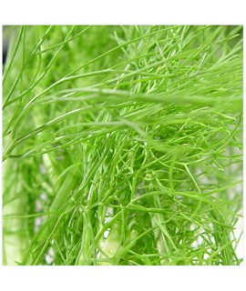 Organic Fennel Flavor Powder