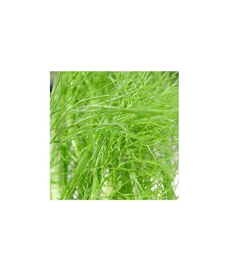 Organic Fennel Flavor Powder
