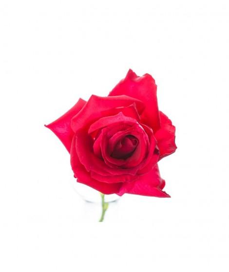 Organic Bulgarian Rose Fragrance Oil (Alcohol Soluble)