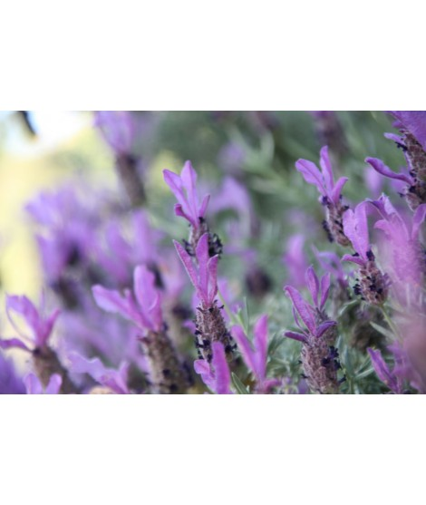 Organic Lavender Fragrance Oil (Alcohol Soluble)