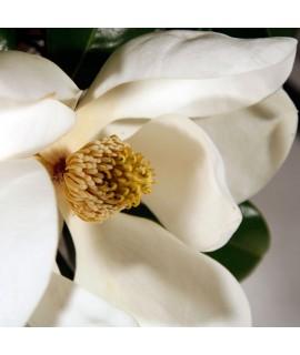 Organic Magnolia Fragrance Oil (Alcohol Soluble)