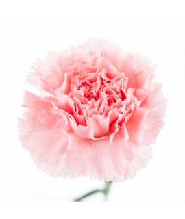 Organic Carnation Fragrance Powder