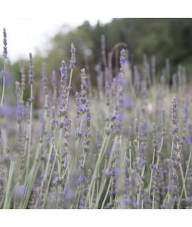 Organic Lavender Fragrance Oil (Oil Soluble)