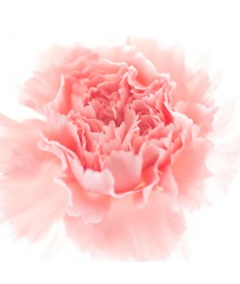 Organic Carnation Fragrance Emulsion with Floral Notes (Water Soluble)