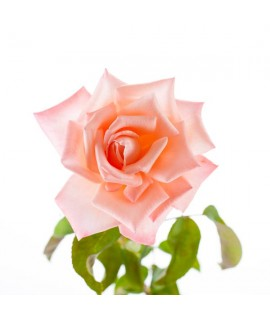 Bulgarian Rose Fragrance Oil (Alcohol Soluble)