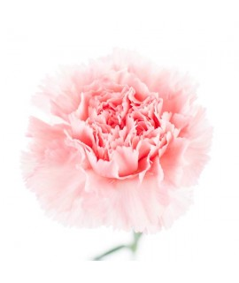 Carnation Fragrance Oil (Oil Soluble)