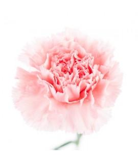Carnation Fragrance Oil (Oil Soluble)