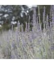 Lavender Fragrance Oil (Oil Soluble)