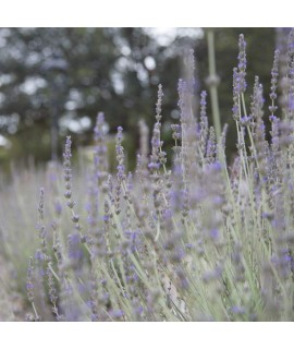 Lavender Fragrance Oil (Oil Soluble)