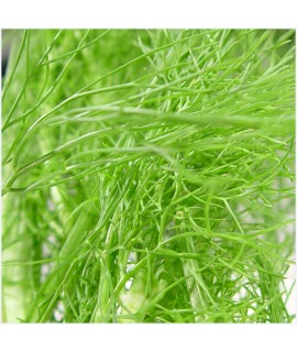 Fennel Extract, Organic