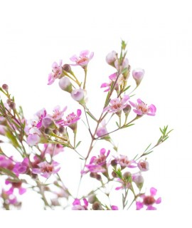 Cherry Blossom Massage Oil