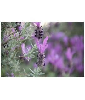 Organic Lavender Flavor Extract