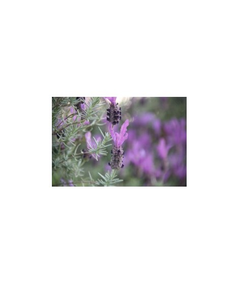 Organic Lavender Flavor Extract