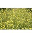 Organic Mustard Seed Flavor Extract