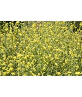 Mustard Seed Extract, Organic