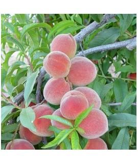 Peach Flavored Italian Soda Syrup