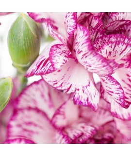 Organic Carnation Fragrance Emulsion (Water Soluble)