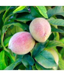 Peach Melba Extract, Organic
