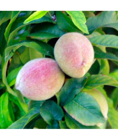 Organic Peach Melba Flavor Extract