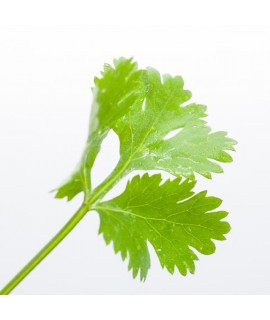 Cilantro Flavor Concentrate Without Diacetyl