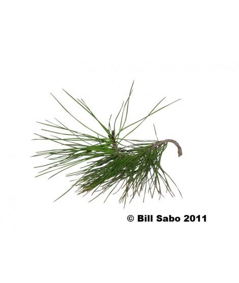 Organic Pine Flavor Extract