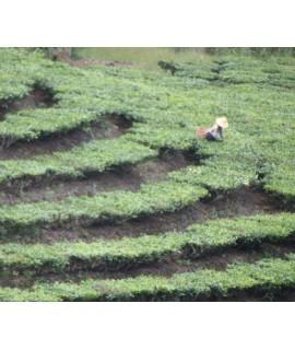 Tea Extract, Organic