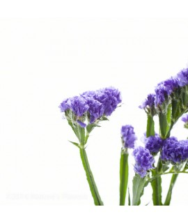 Violet Extract, Organic