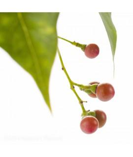 Organic Wintergreen Flavor Extract
