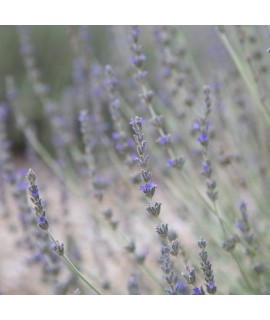 Sante Lavender (French) Essential Oil