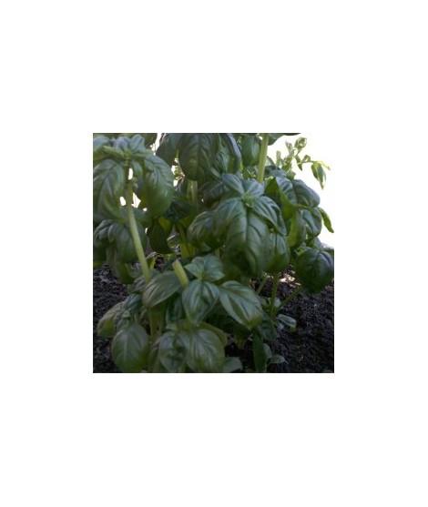 Organic Basil Flavor Powder (Sugar Free, Calorie Free)